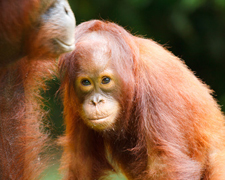 Palm oil and how it threatens orangutans - say no to unsustainable palm oil!